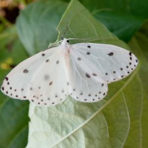 美しい昼飛性蛾、ホシシャク。