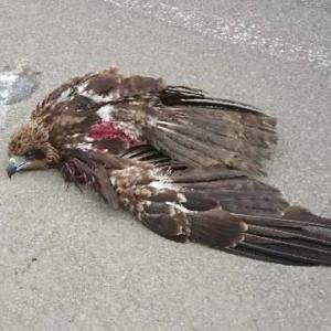 この瀕死の猛禽は何でしょうか?