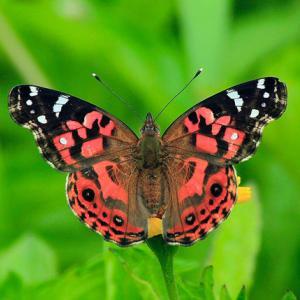 セントヘレナ島の蝶類