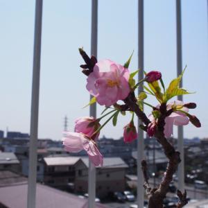 我が家の桜が咲きました!