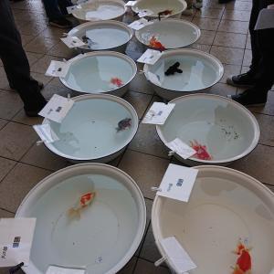 第3回金魚フェス 大和郡山金魚品評会