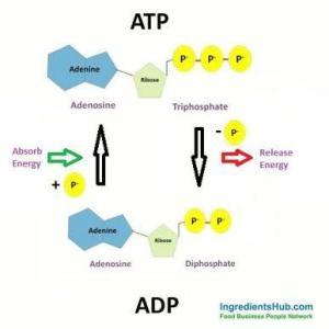 筋肉とIGF-1(インスリン様成長因子)