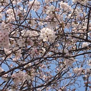 花見の梯子