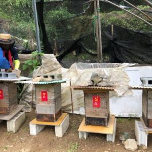 日本ミツバチ 1回目