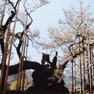 ★ 年老いた桜