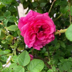 今朝の秋バラ