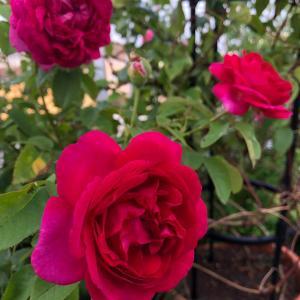 バラの2番花
