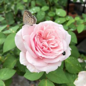 バラが咲いてます ♬