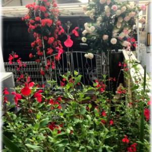 梅雨前の夏花苗植え付けや垣根剪定・・・3ヶ月ぶりのウェルシュのプラッキング・・・