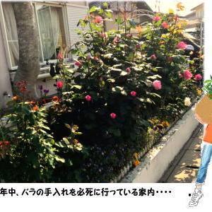 我家の庭に次々と咲き続ける薔薇と次女の思いもよらぬ優しさ・・・・・