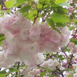 回想する…山桜