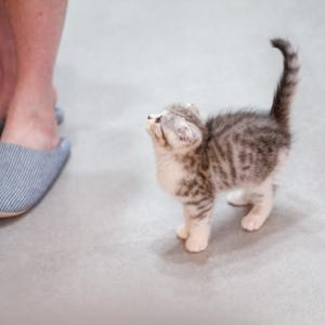 スコティッシュフォールドの性格は?実際飼ってみたわが家の猫の性格
