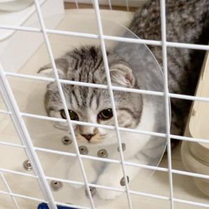 猫の避妊手術 体験談。術後の様子は?注意事項は?