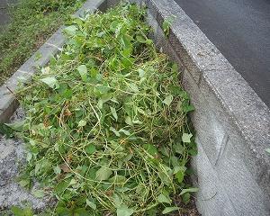 マルバルコウ草が山盛り