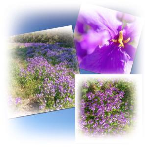 春本番とお散歩で見付けた紫色の小さな花のじゅうたん。