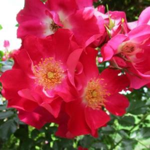 OPENGARDEN大きなくりの木の下で2020年バラのシーズン