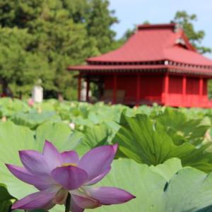 猿賀公園のハス2020年♪鏡ヶ池に満開の花と足湯でまったり