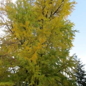 初雪と弘前公園の大銀杏♪カエデの紅葉も最高潮です