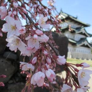 桜っこ咲いでら♪本丸の弘前枝垂れ3分咲き!17日から準まつり態勢