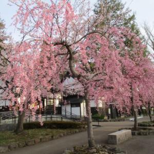 弘前さくらまつり2021開幕♪本丸の八重桜や西濠も咲き始めて桜色