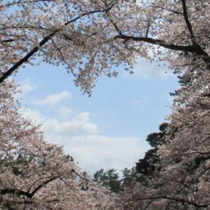 ソメイヨシノ満開の弘前公園にハートの桜♪隠れスポットや西濠も桜色