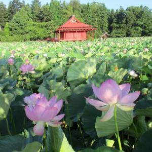 猿賀神社の蓮の花が満開!北限のハスと「津軽のイタコ」