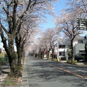 コロナウイルスと桜の季節、でも雪