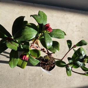 クレール・バスレ―、植物、沈丁花