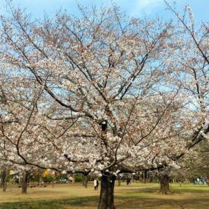 今年の桜 井の頭公園