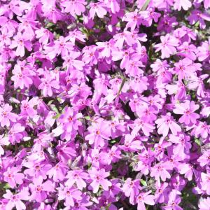 家の花が満開となりました0515