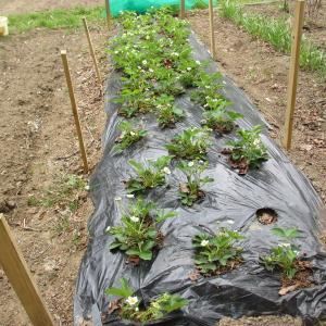 家庭菜園(山の畑)イチゴの鳥害対策
