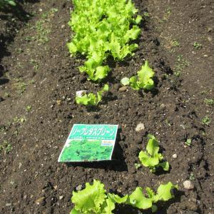 家庭菜園(家の庭)の作物0605