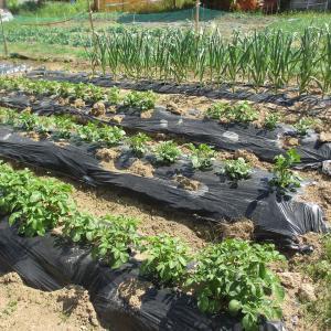 家庭菜園山の畑の作物状況0606