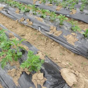 家庭菜園ジャガイモの芽かき