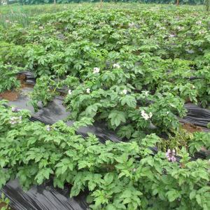家庭菜園ジャガイモとカボチャ、枝豆の生育状況0628