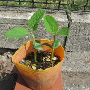 枝豆大量収穫にチャレンジ0712