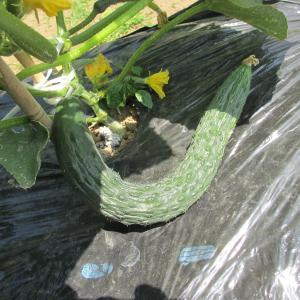 家庭菜園生育状況キュウリ、ナス収穫、枝豆チャレンジその後、スイカの赤ちゃん0716