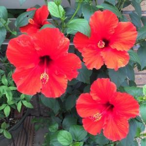 夏らしく:ハイビスカスが咲いた