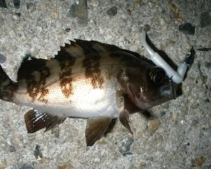 晩秋から春先が型狙い数釣りが楽しめるメバリングのシーズン!