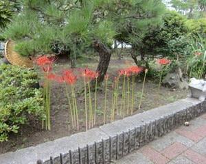 庭のヒガンバナ咲く!