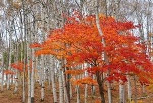 白樺林が日本一の秋の風景!