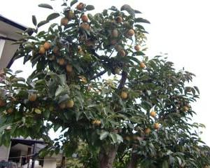 渋柿ですが!枝いっぱい!