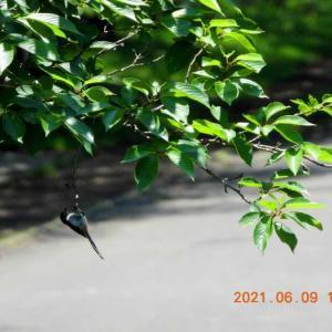 20210609-1  :  青葉の森公園の小鳥たち