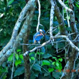 20210804-1: 青葉の森公園と カワセミ 他。