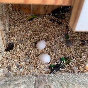 シロハラインコグリーンタイツ2個目産卵