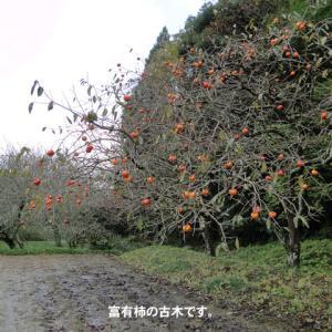 富有柿を採る。