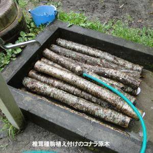 椎茸種駒植え付けの�
