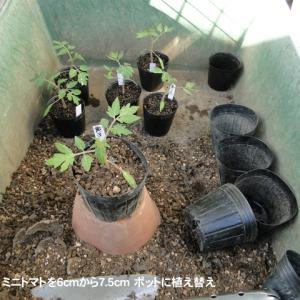ミニトマトの苗作り