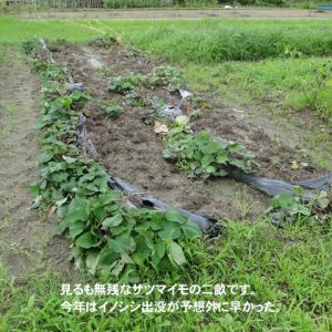 サツマイモ畑にイノシシ