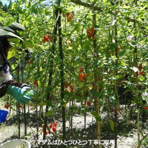ミニトマトは好調収穫